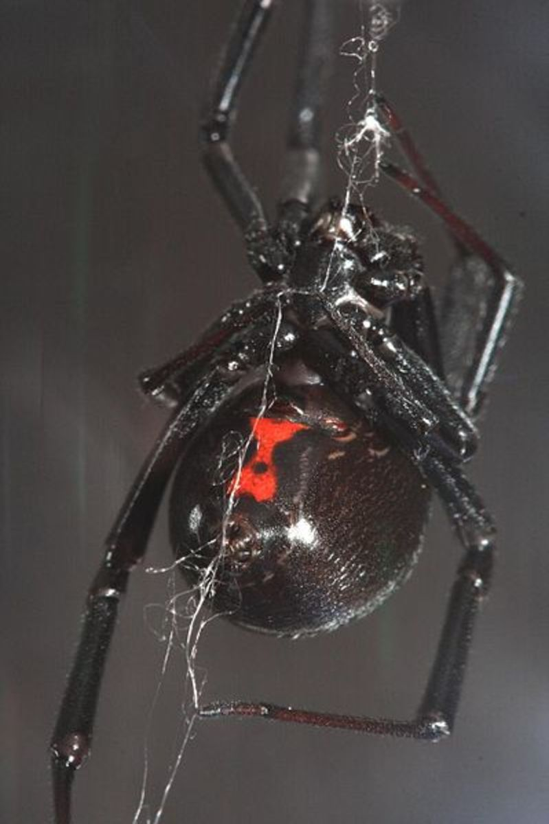 Black widows are very recognizable.