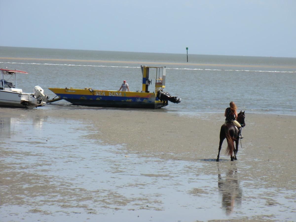 Marsh Tacky horse rides out to stranded barge