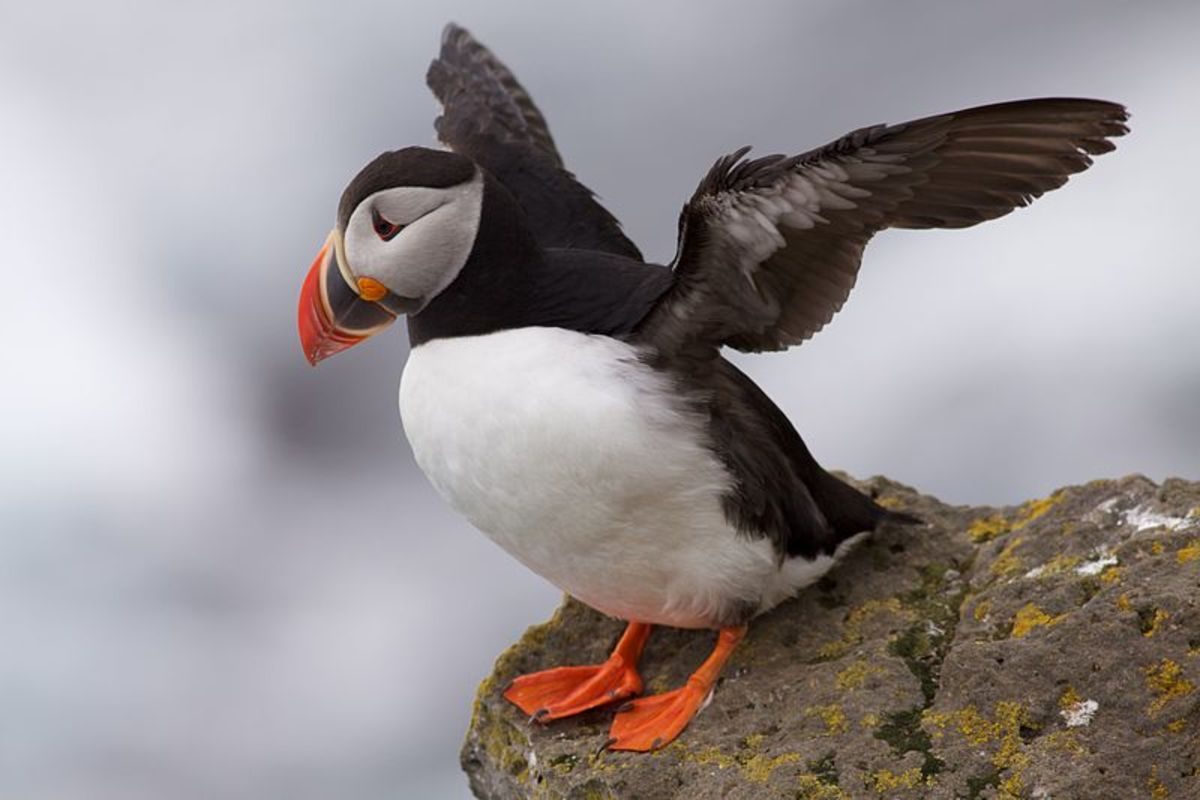 Puffin  at Latrabjarg - Fratercula arctica