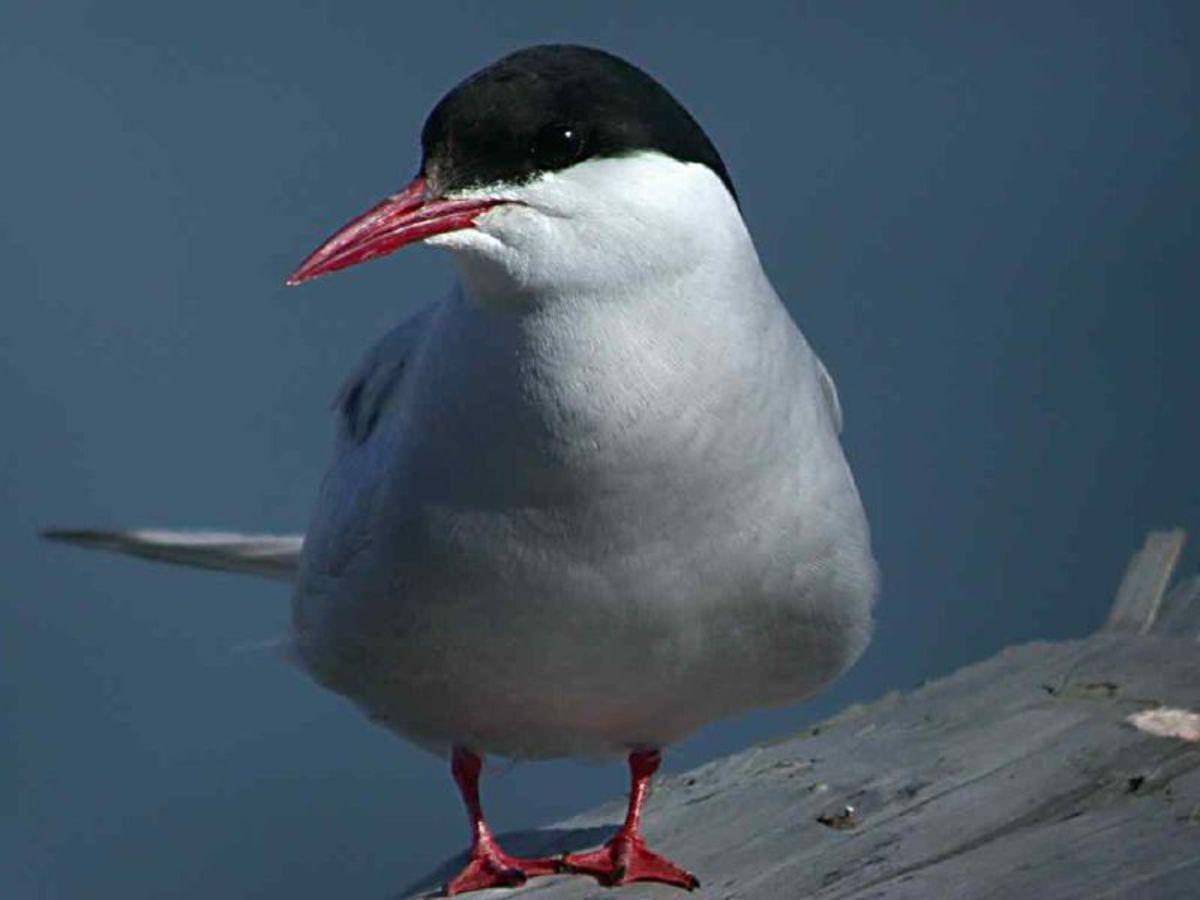 Arctic Tern - terna paradisaea