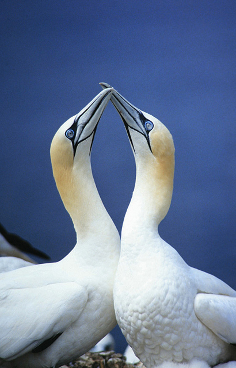 10 Spectacular Birds Of Iceland