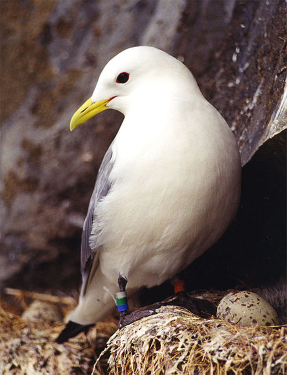 Black-legged Kittiwake - Rissa tridactyla - near eggs