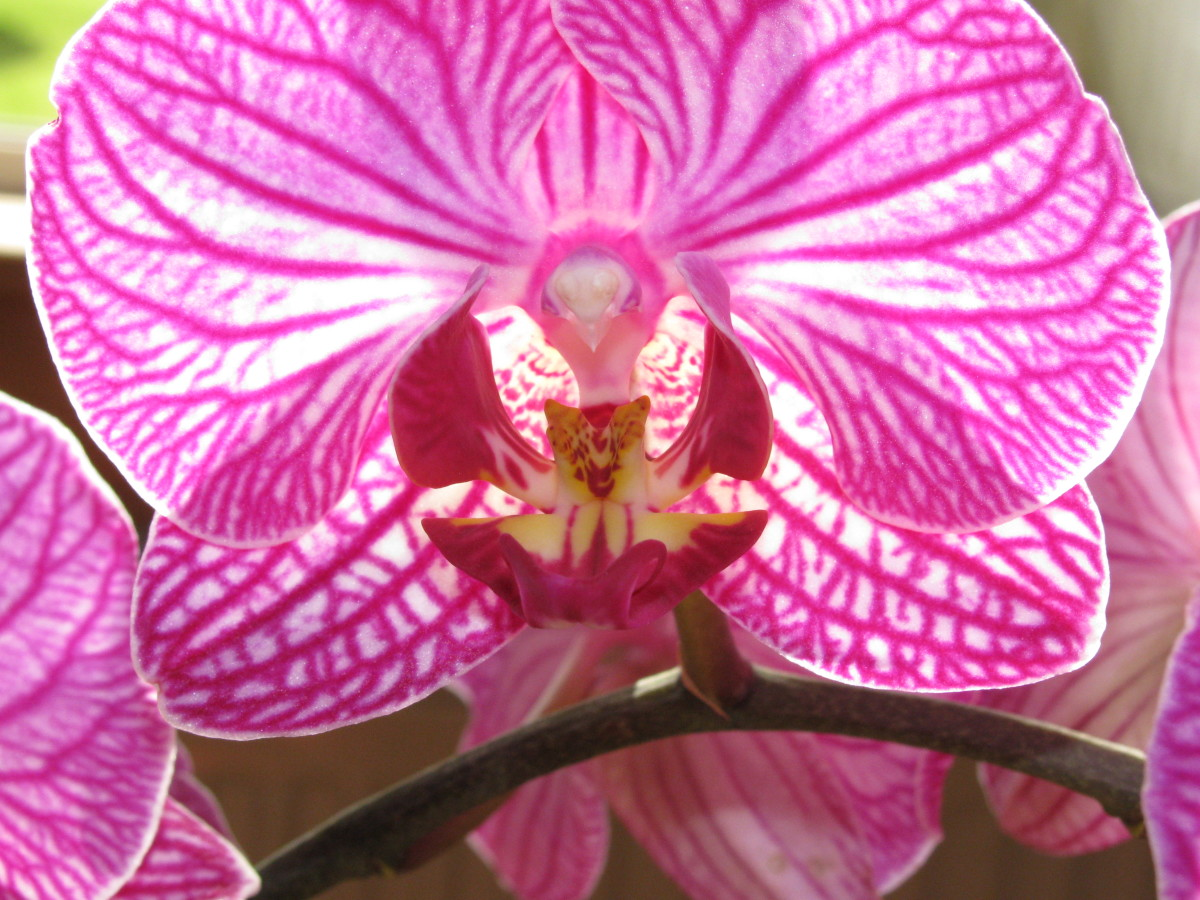 A close up photo of a flower on one of my Phalaenopsis Orchids - also known as moth orchids.