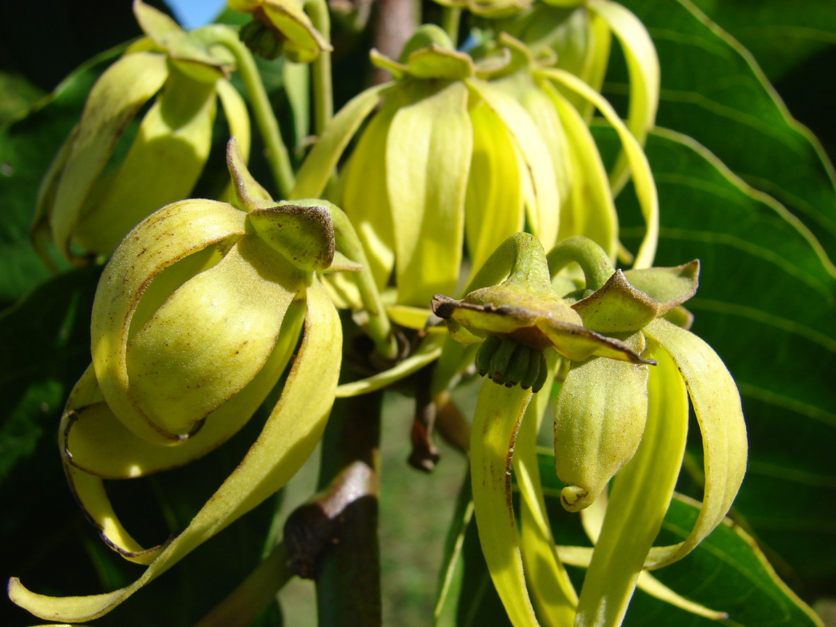 known as the perfume tree, ylang-ylang works with oriental and floral notes. One of the scents in Channel No. 5.