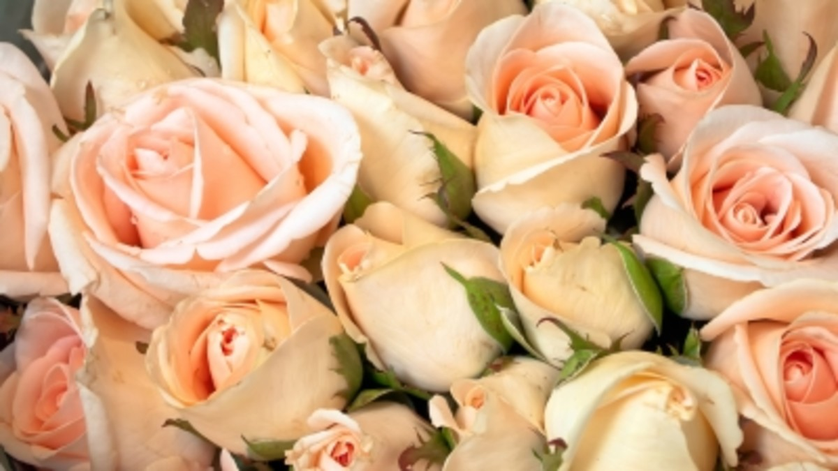 rose petals may be used for homemade potpourri, air freshener or even frosted and used as an edible decoration in culinary dishes.