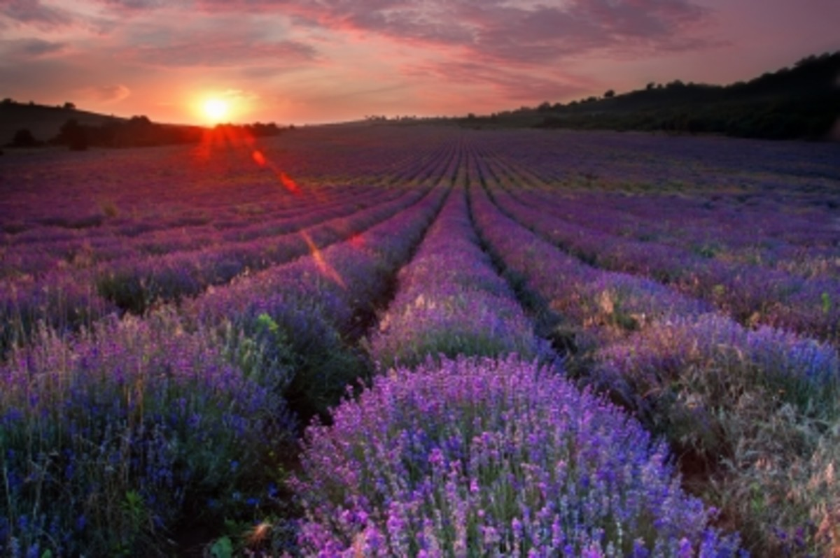 one of the most widely used and loved fragrances lavender is perfect for a solid perfume.