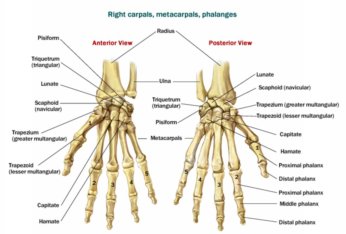 Hand /Wrist bones