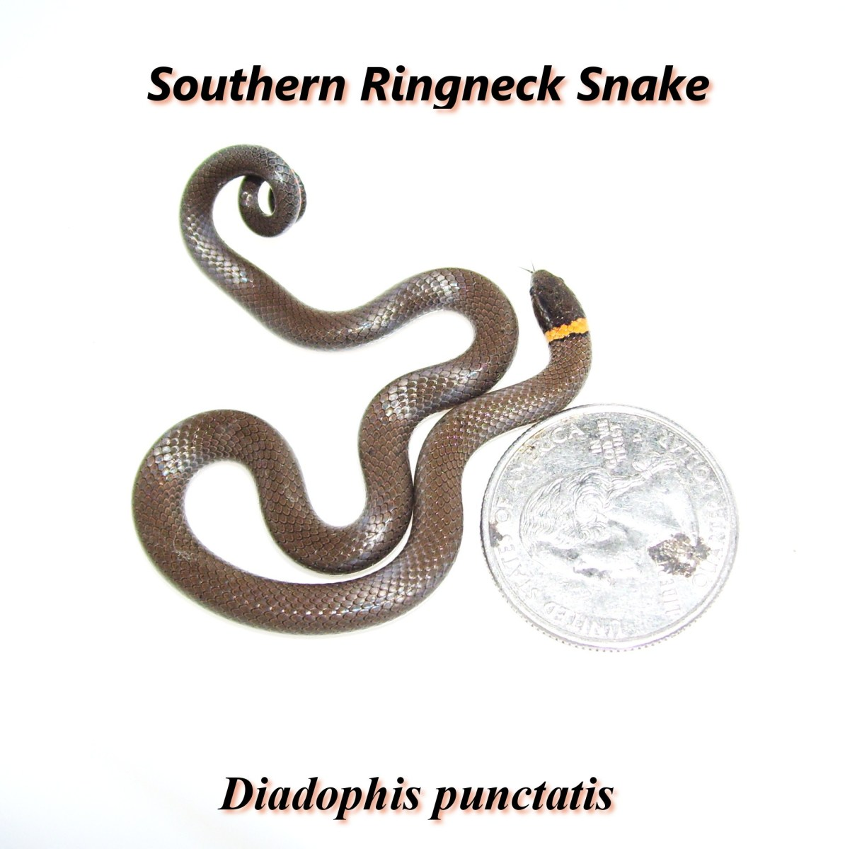 The Southern Ringneck snake.