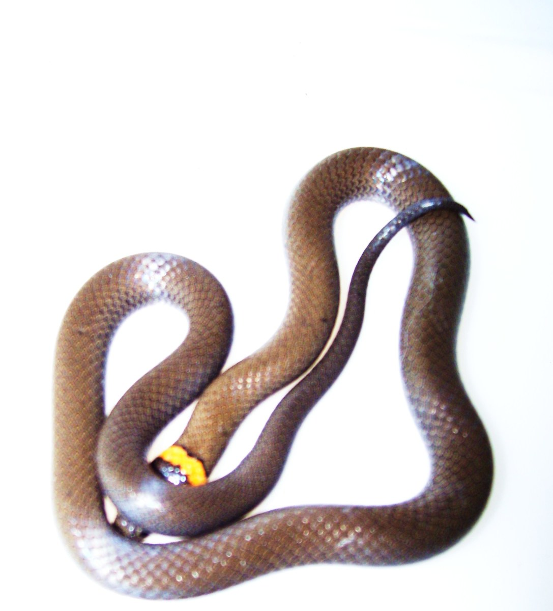 The ringneck snake is actually a shy pet.