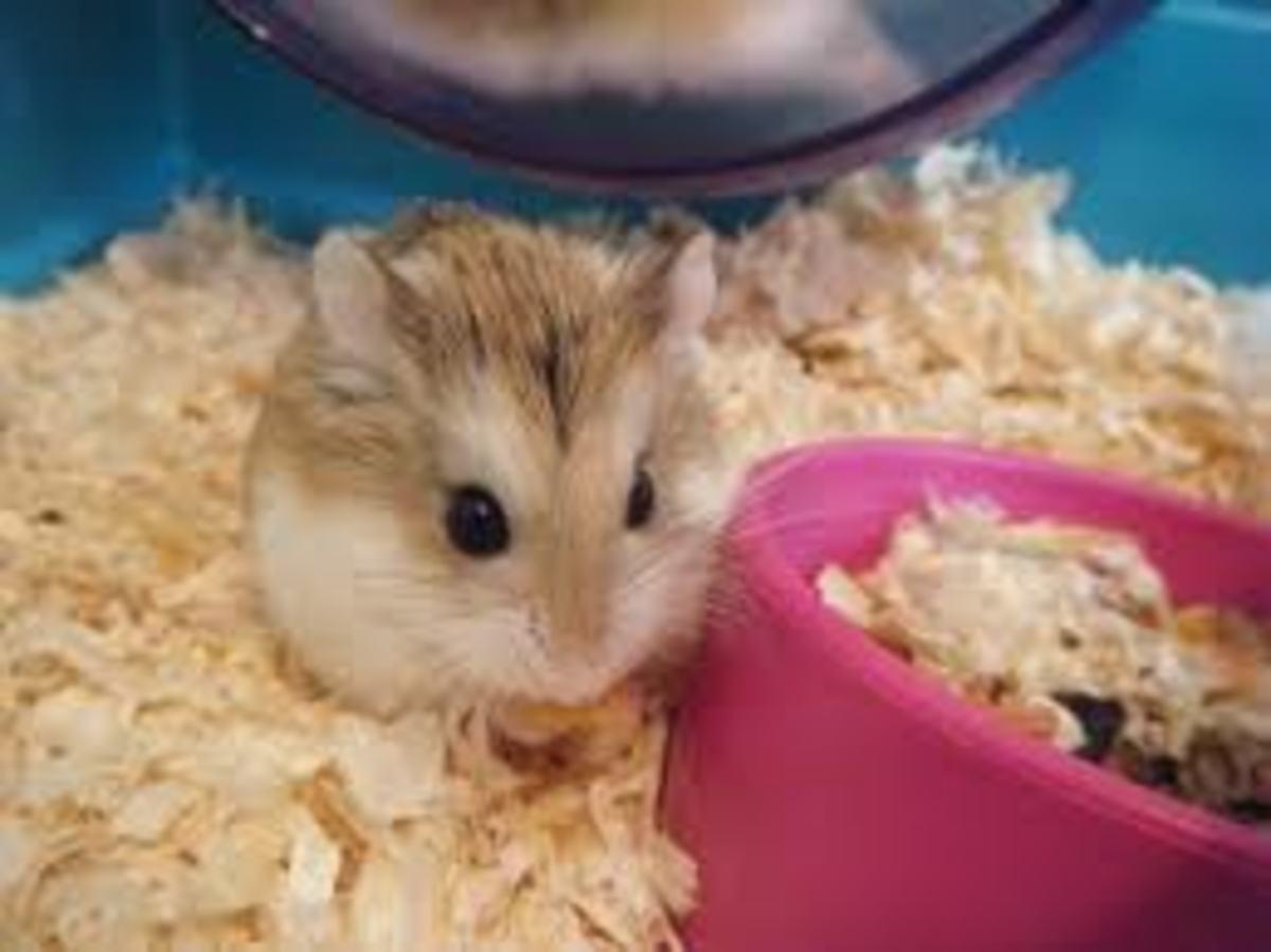 Tiny Roborovski hamster, standard.