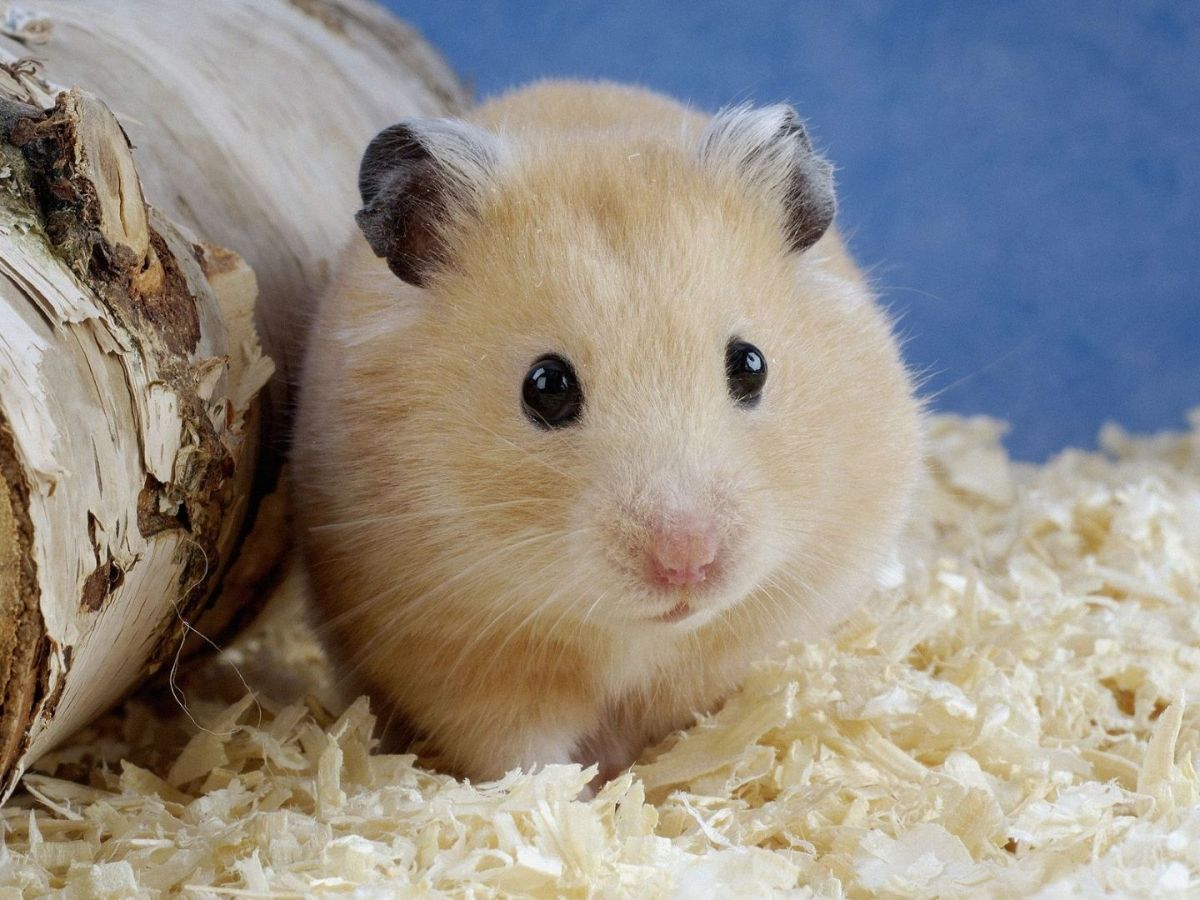 This is a standard short haired (regular) Syrian hamster in good condition.