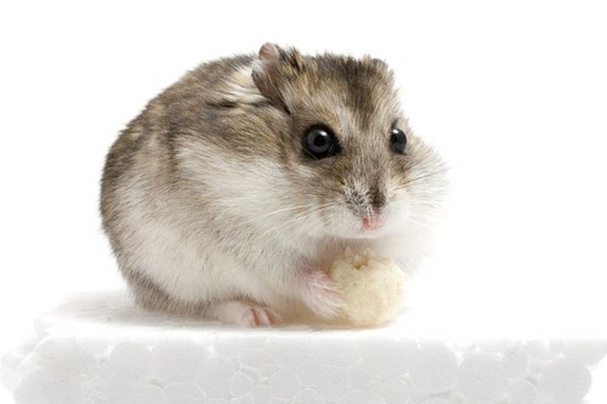 A standard Russian hamster
