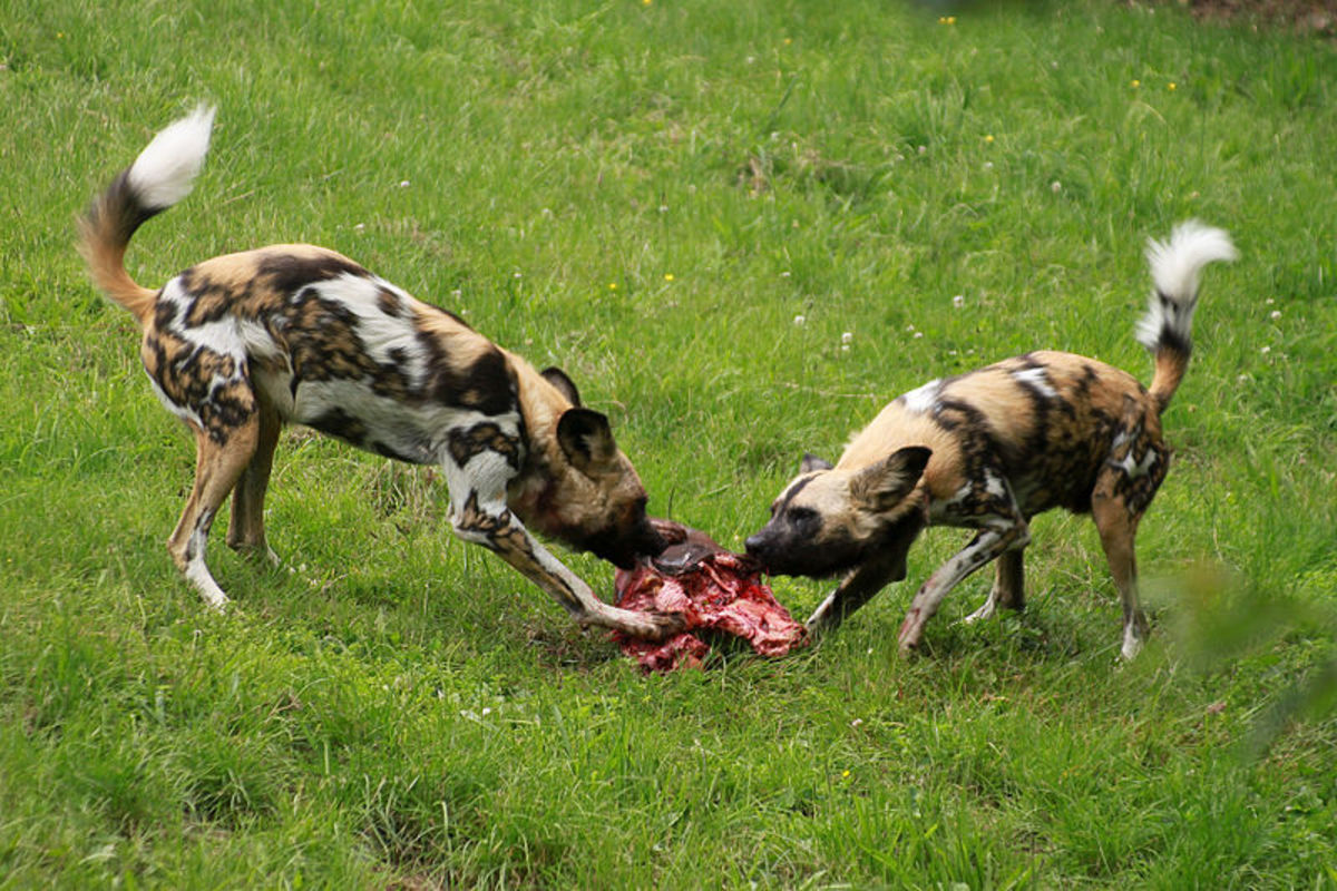 Wild dogs have to fight for their portion of a kill.  Some of that instinct is left over in your domesticated pet.