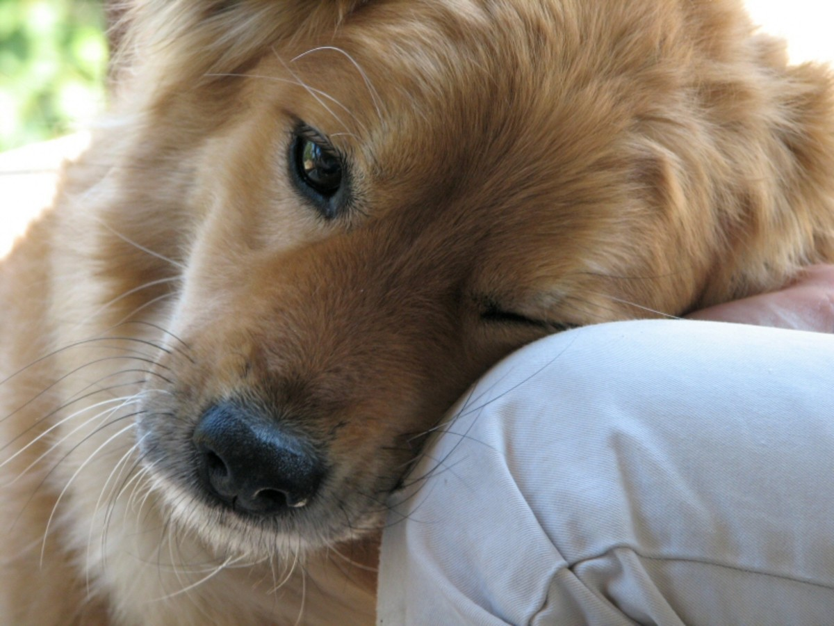 Your dog may be bringing its food to a place where it can see you or be near you.