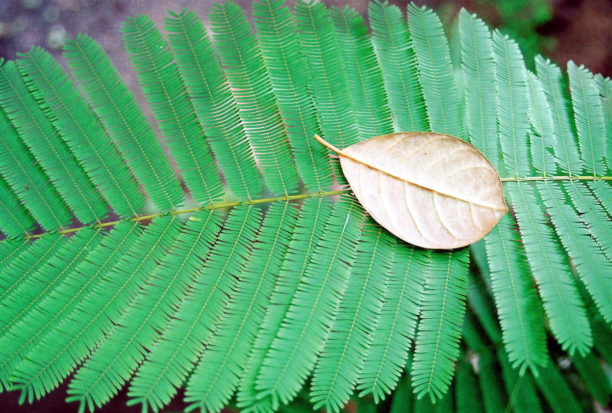 Ferns; It's Importance and General Characteristics