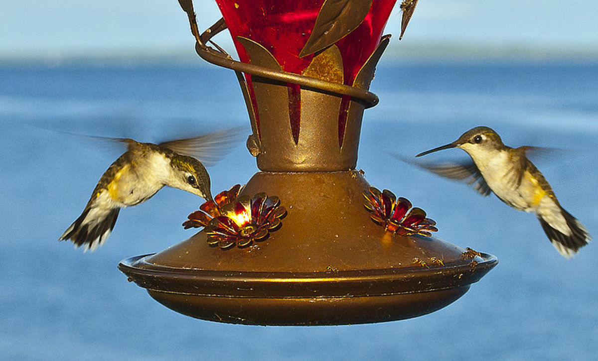 Hummingbirds At A Feeder In This Photo. It Is A Lot Of Fun To Watch Them Feed At Feeders That You Can Hang Near A Window So You Can Watch Them.