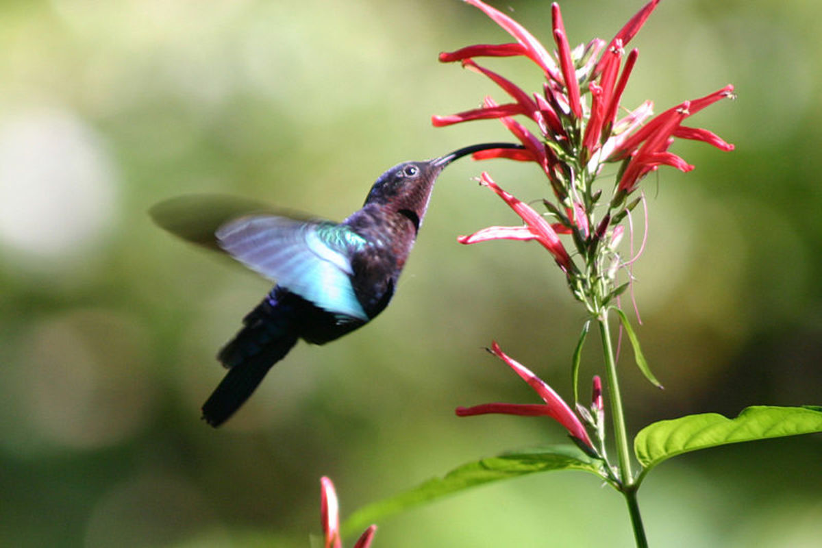 Purple Throated Hummingbird Feeding From A Flower.