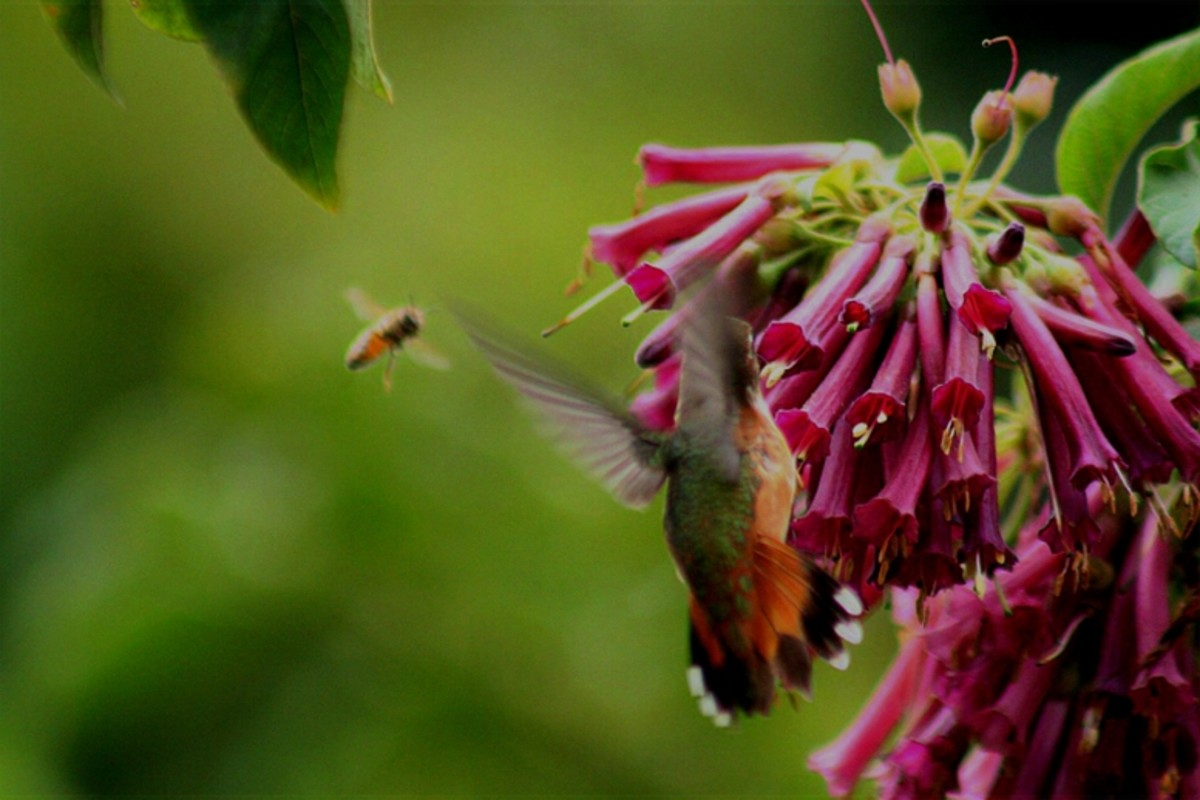 In This Photo Is A Honey Bee And A Hummingbird.