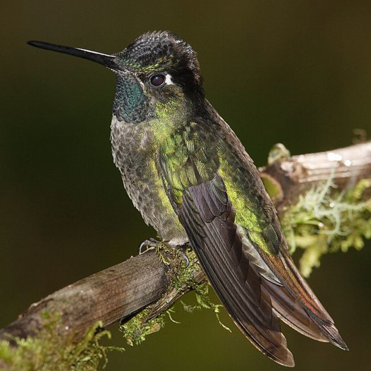 Notice the bill of the Hummingbird in this photo. It is the birds tongue that it uses for drinking nectar from flowers.