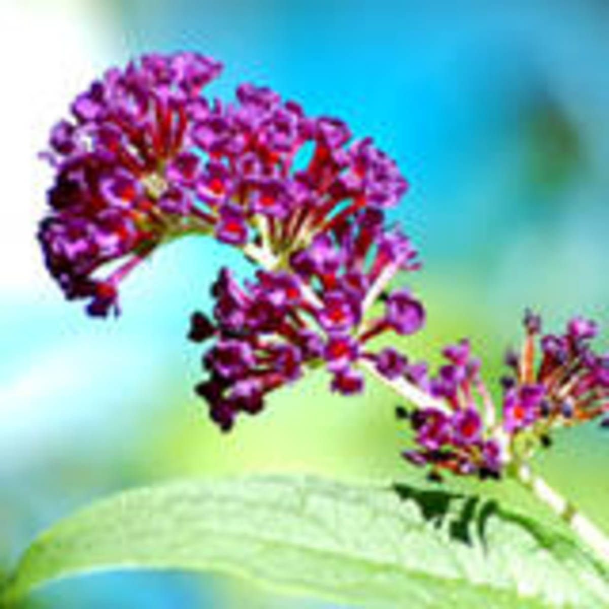 In this photo is a picture of the plant known as butterfly bush. It is a favorite of both hummingbirds and butterflies.