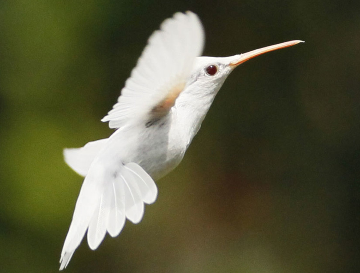 In this photo is a albino hummingbird that did not develop any color in its feathers. They are rare but there are almost always a few around.