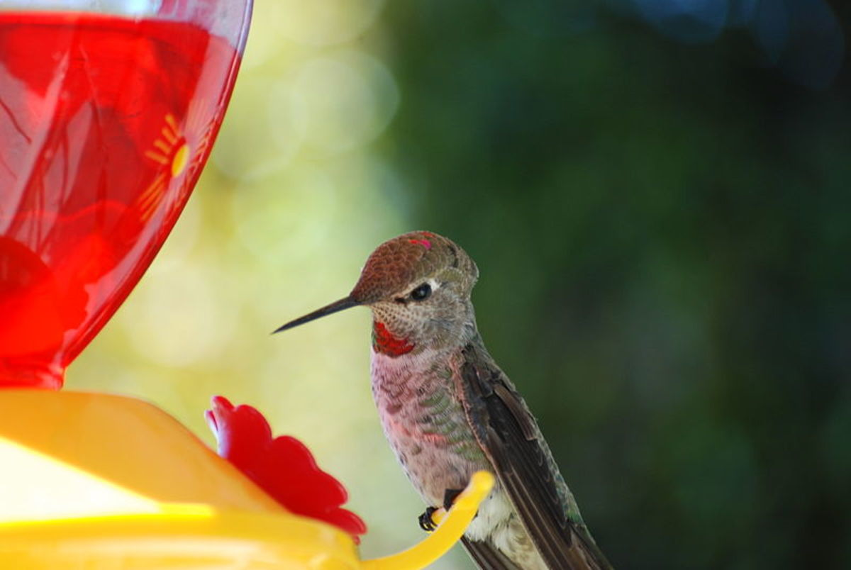 Anna's Hummingbird Feeding At A Artificial Feeder.