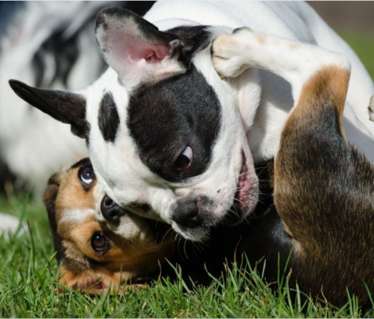 Puppies learn how to inhibit their biting when they in the litter and further refine it by playing with other puppies.