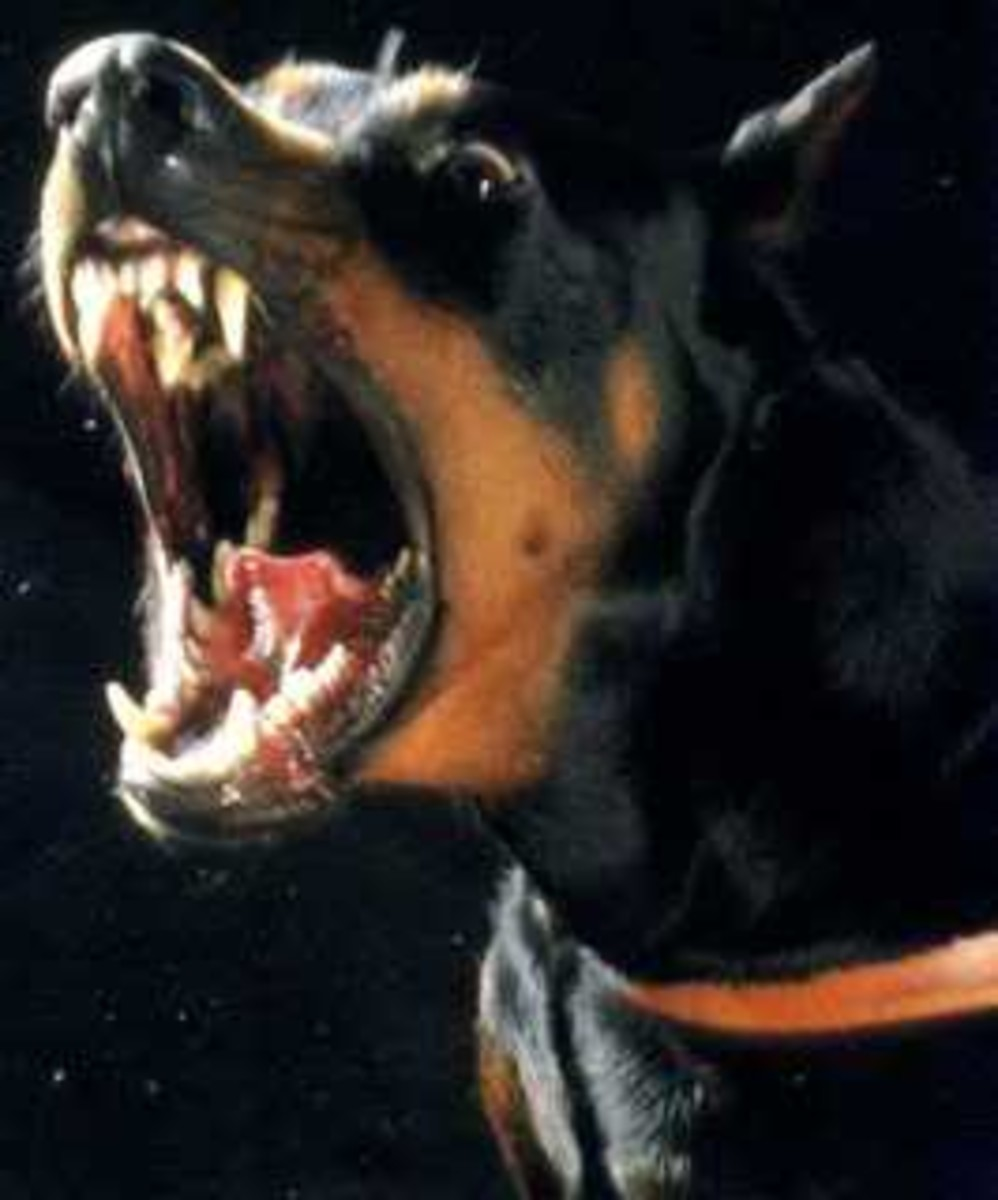 As every Letter Carrier knows, a rather savage form of American Football can be played using a Miniature Doberman Pinscher rather than the traditional pigskin.