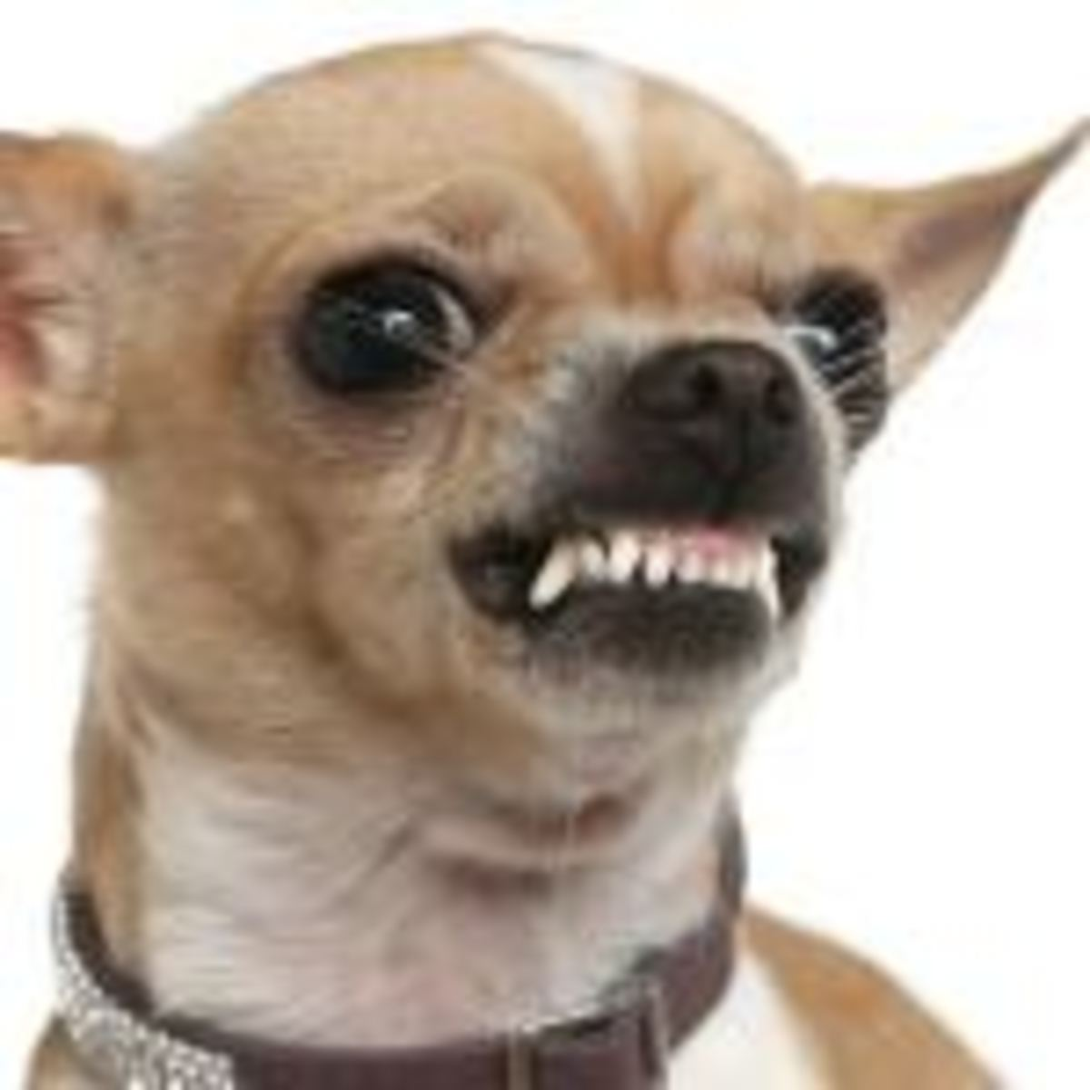 Don't be deceived by size - Like so many fuzzy piranhas, a small pack of Chihuahuas can devour a mailman down to bare bone in a matter of minutes, leaving only a satchel and a few shredded remnants of letters.