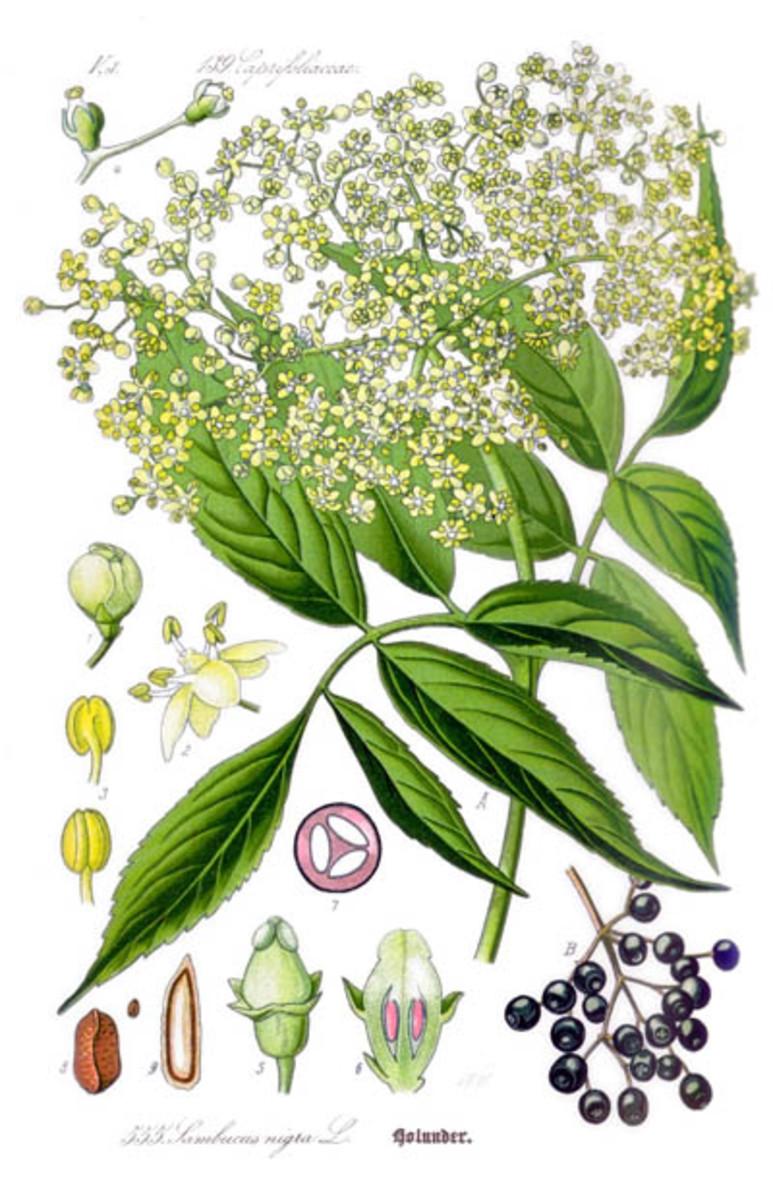 Elder: leaf, flower, berry, seed