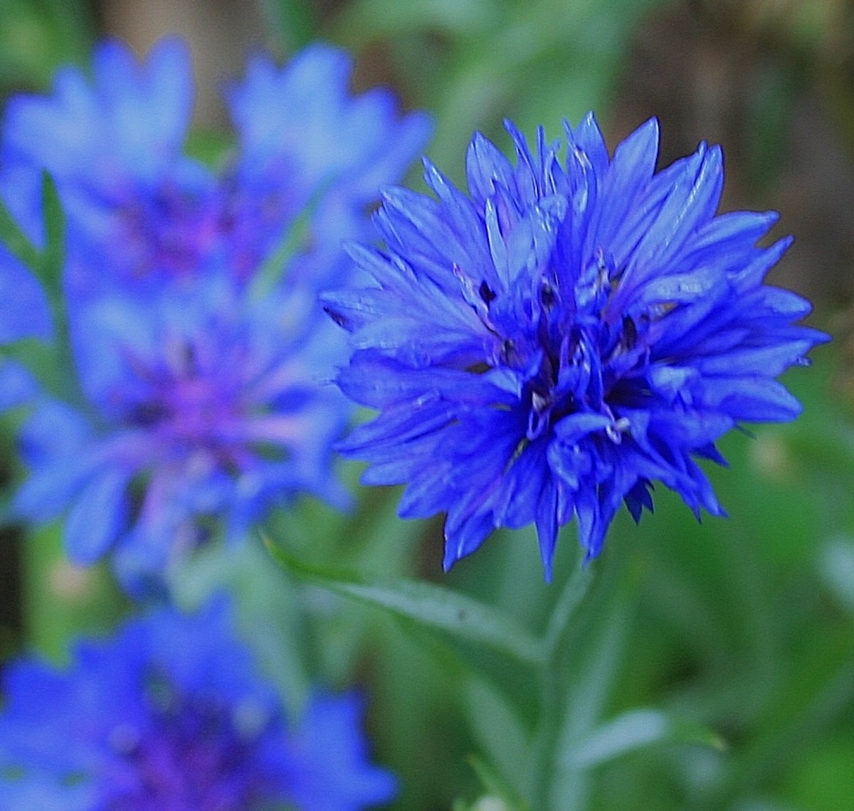 Cornflowers would be a good choice of blue flower for a patriotic flower bed.