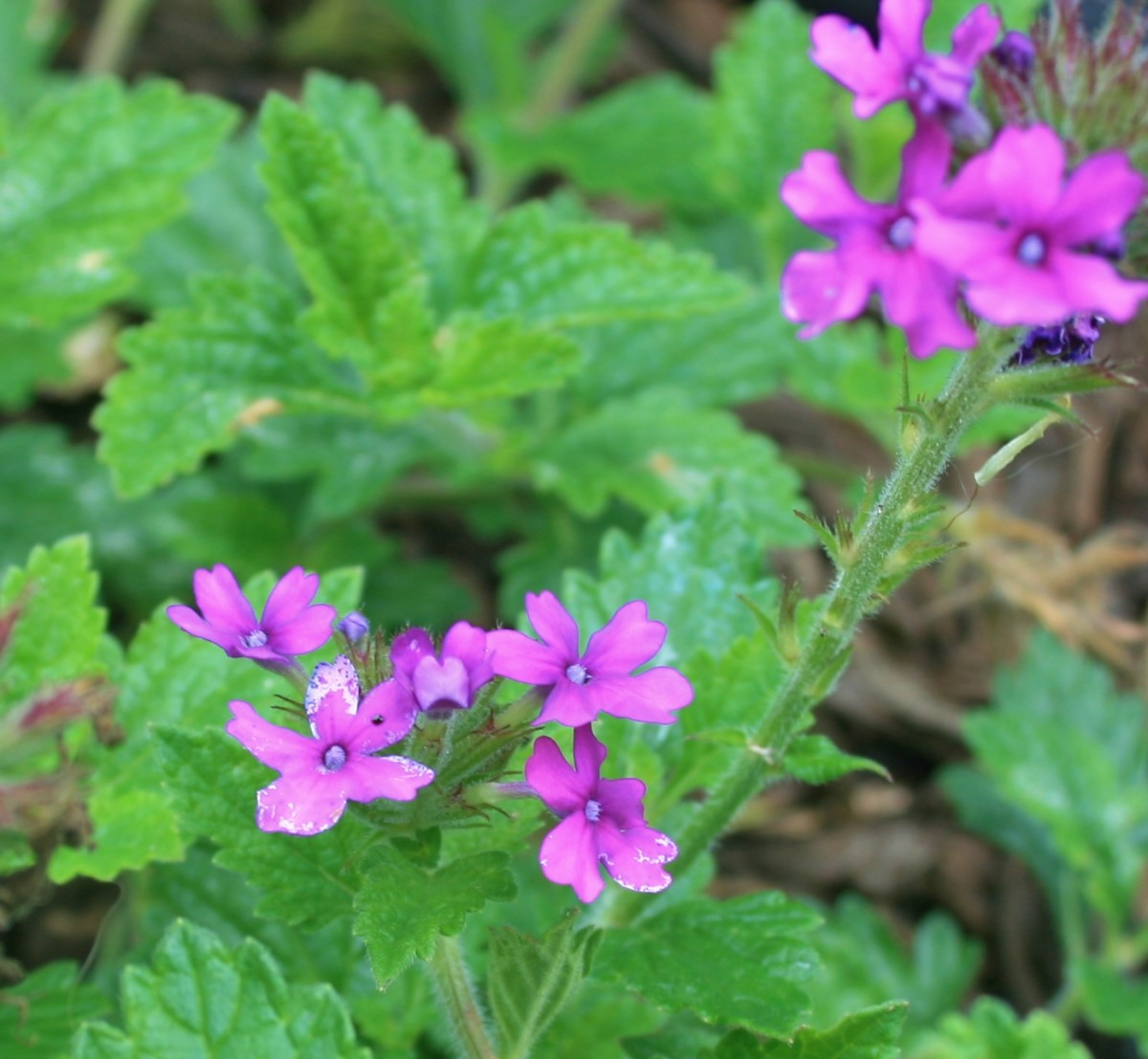 Homestead purple verbena is a good hardy blue flower substitute in a full-sun patriotic flower bed or flower pot.