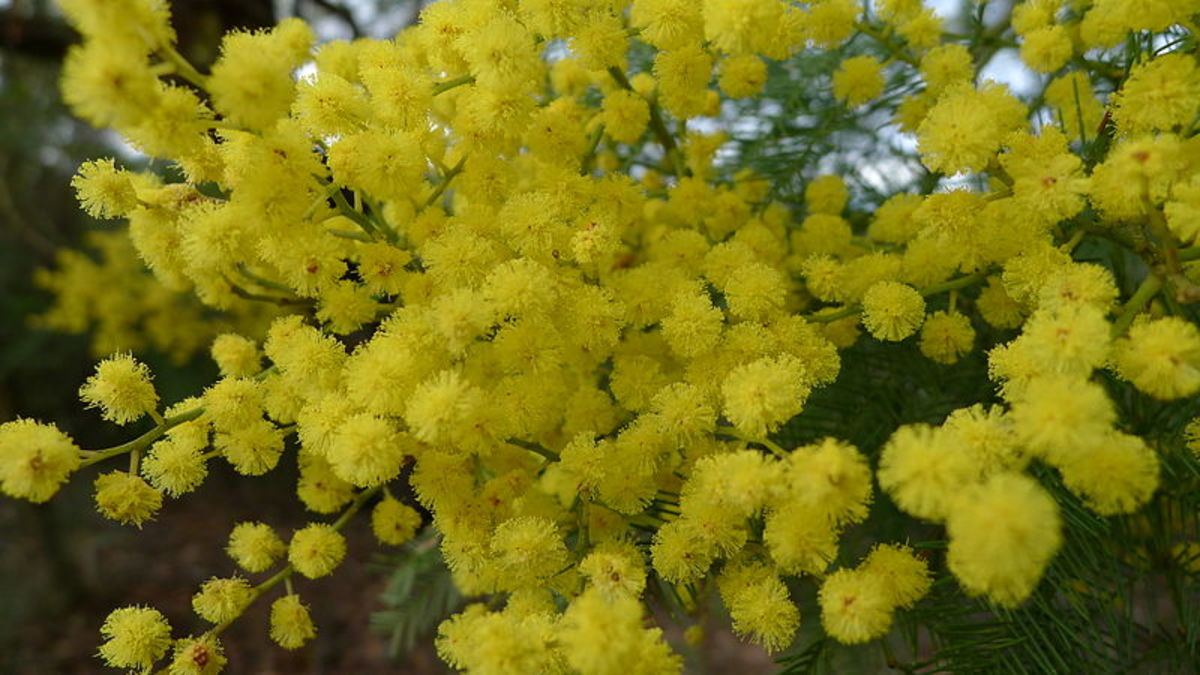 File: Acacia decurren flowers1.jpb Author: John Tann 24, July 2011, 11:30 Creative Commons Attribution Share-Alike 2.0 Generic