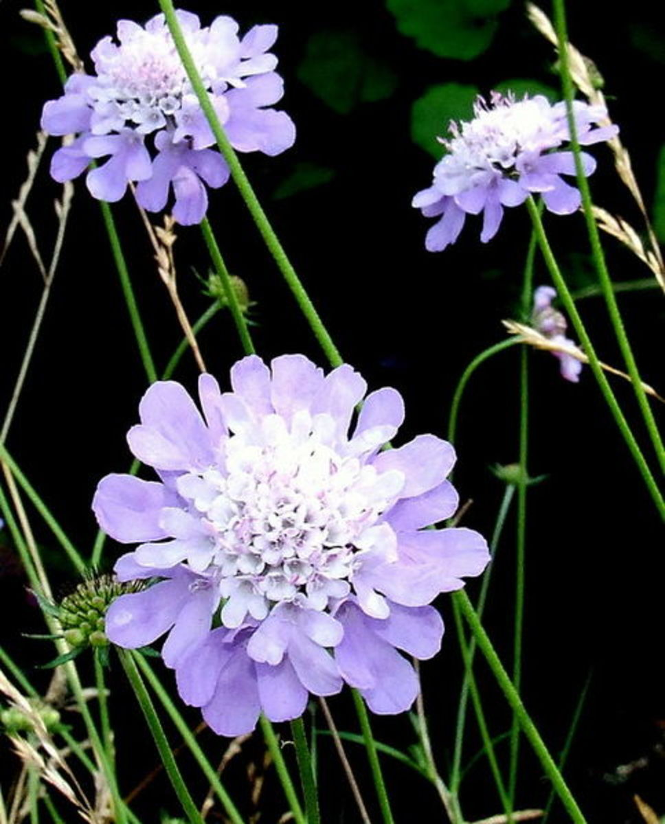 File:Scabious-geograph.org.uk-544069.jpg 1 September 2007 Author: Gwen and James Anderson 00:30, 6 February 2011 CC_BY-SA-2.0 Grid No5735 Scabiousa Columbia Geograph British Isles project