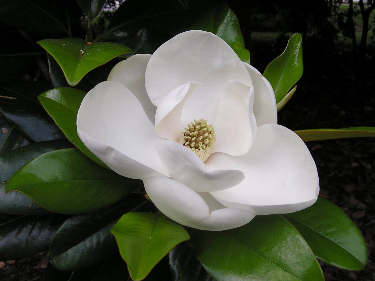 Southern Magnolia Flower HDWallpaper