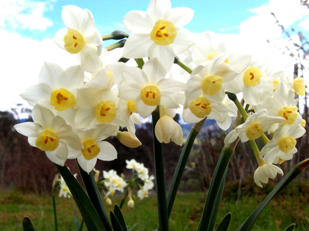 File:Jonquil-flowers.jpg CC-BY-SA-3.0-migrated-with-disclaimers GFDL-en Author: Fir0002 2004-09-12 06:01