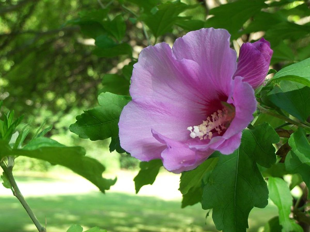 File:Rose of Sharon.JPG Author: Tiffany825  23.32, 5 August 2010 CC-BY-3.0