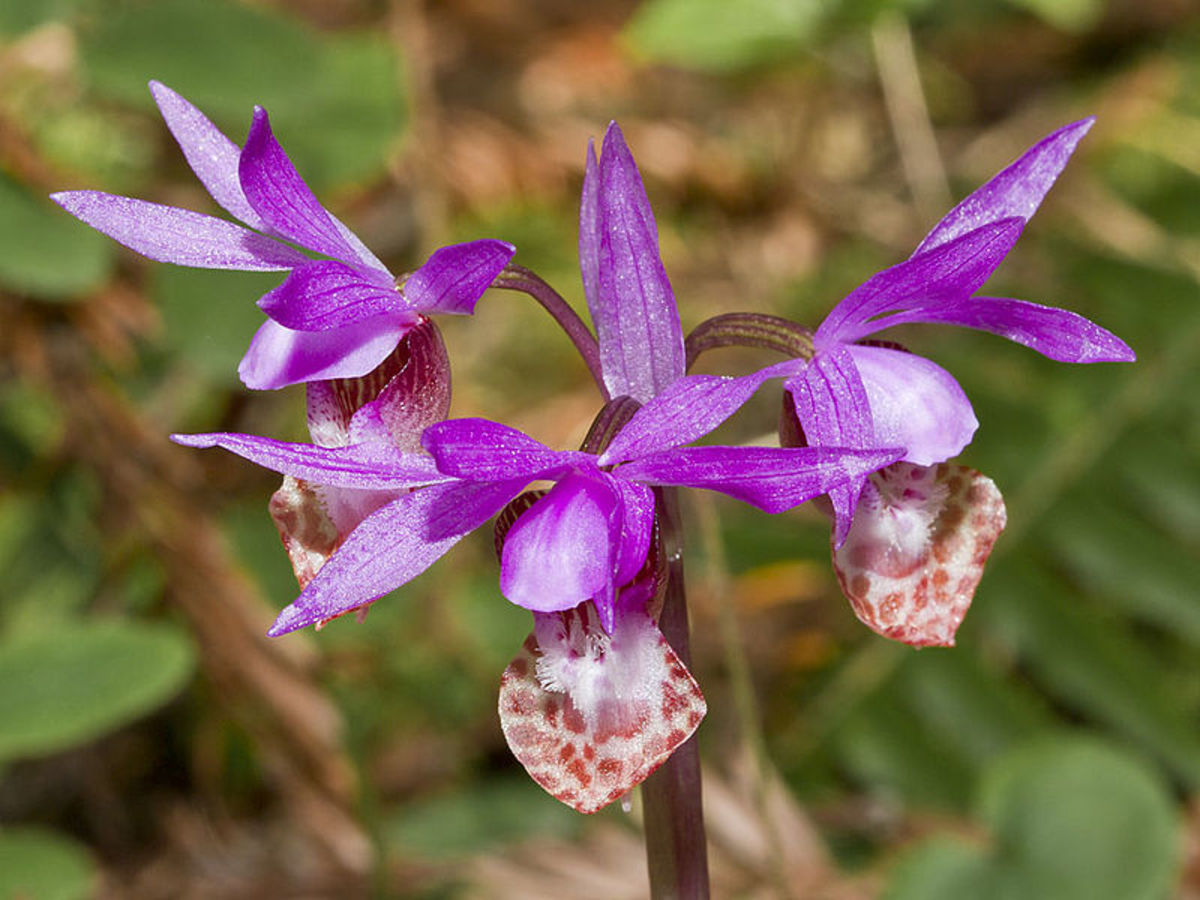 File:Calypso bulbosa-Flickr 005.jpg 6 April 2012, 15:22 Author: Bill Bouton CC-BY-SA-2.0