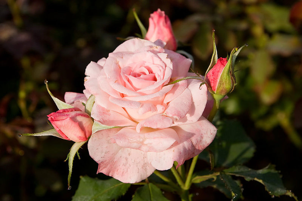 "File:Bridalpink -morwell rose garden.jpg ""Fir0002/Flagstaffotos"" 06:58, August 2007 CC-BY-NC"