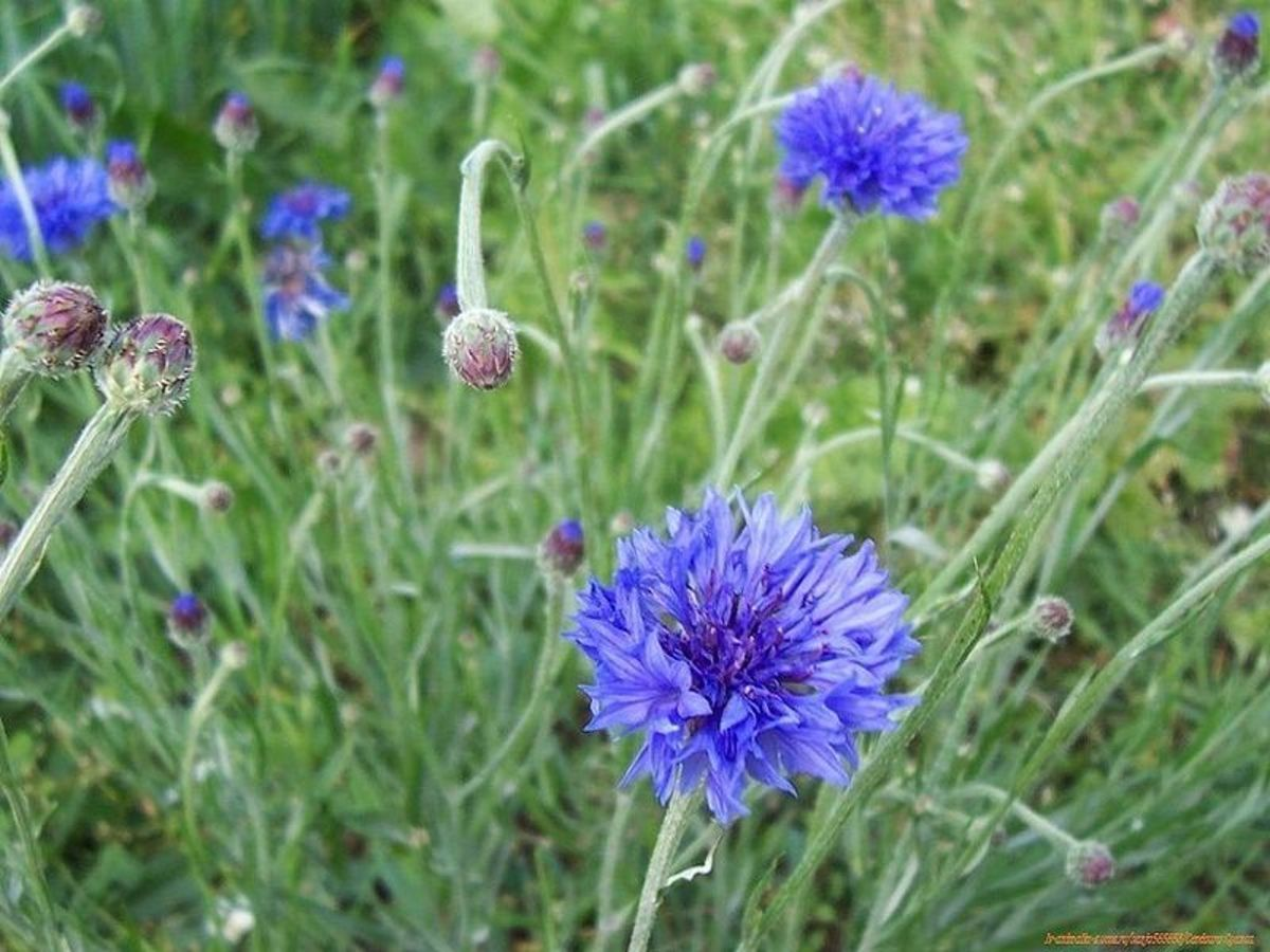 File:Centaurea cyanus 04. JPG Author: Sanja565658 Creative Commons Attribution - Share Alike 3.0 Unported