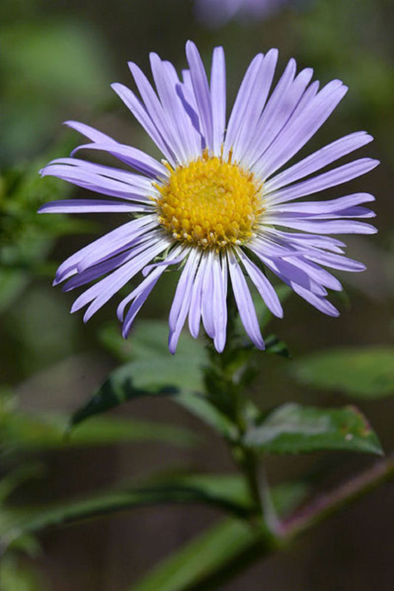 File:Aster novae-angliae.jpg by Brian Arthur Original uploader Hugowolf via en.wikipedia Creative Commons Attribution - Share Alike 3.0 Unported