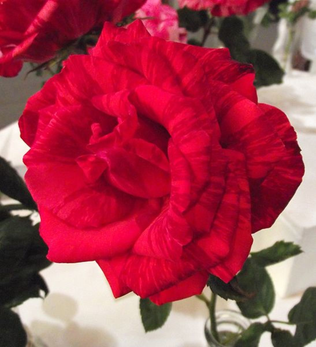 """File: Rosaredintuition.jpb Rosa """"Red Intuition' at the San Diego County Fair, California, USA Author: Stickpen 16, June 2010"""