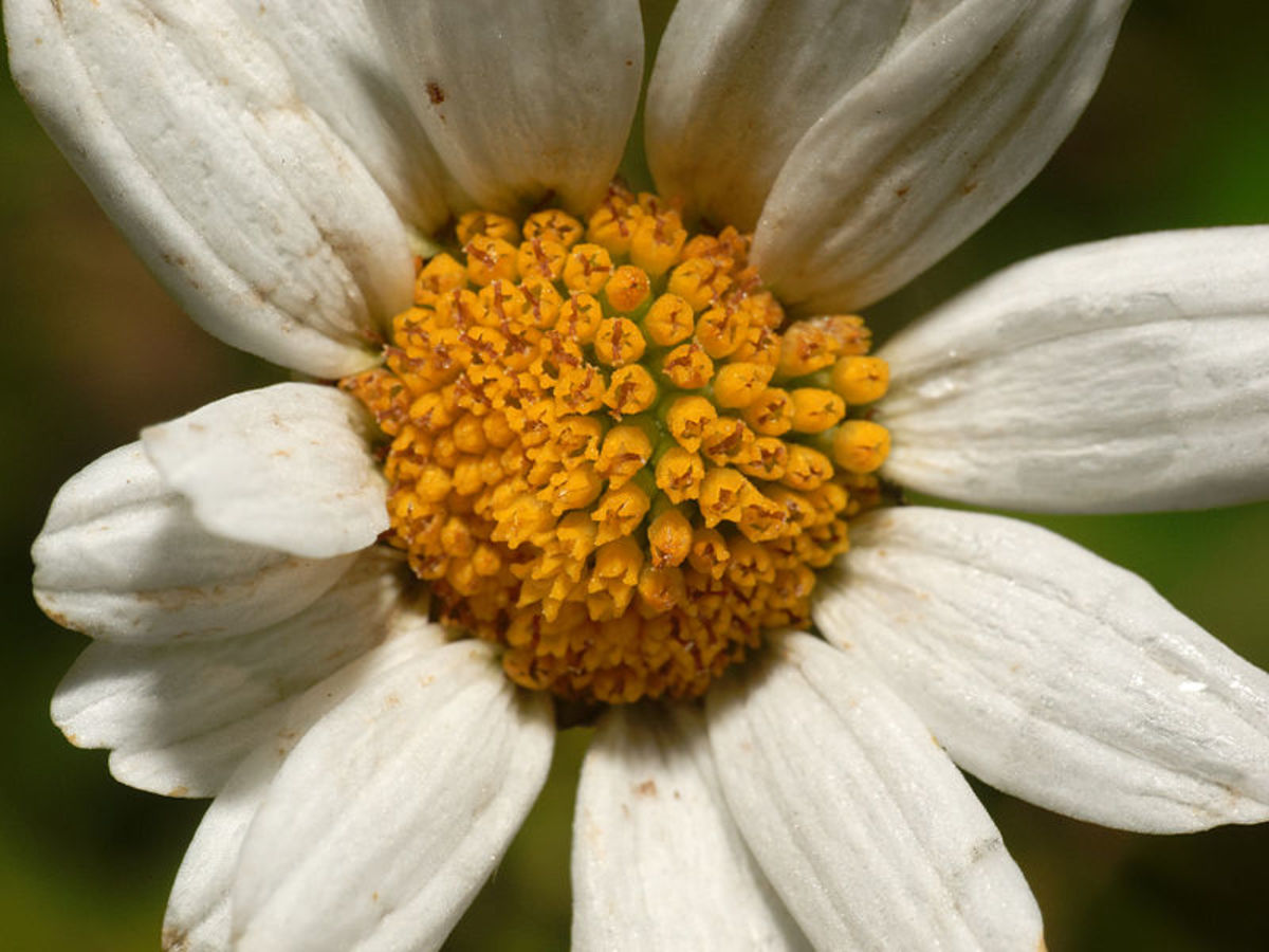 File:4daisy2a (8210105008).jpg Author: psyberartist CC-BY-2.0