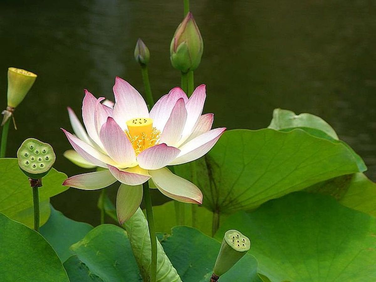 File:Lotus flower (1).jpg Author: Jon Sullivan 08:06, 28 February 2013