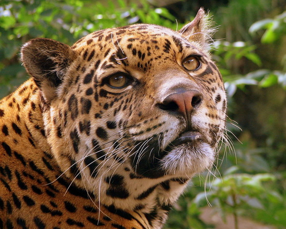 There are Jaguars in the Yanachaga-Chemillen National Park. Source: Pascal Blacier WMC.