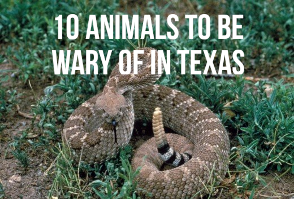 For a list of the most dangerous animals in Texas, read on...