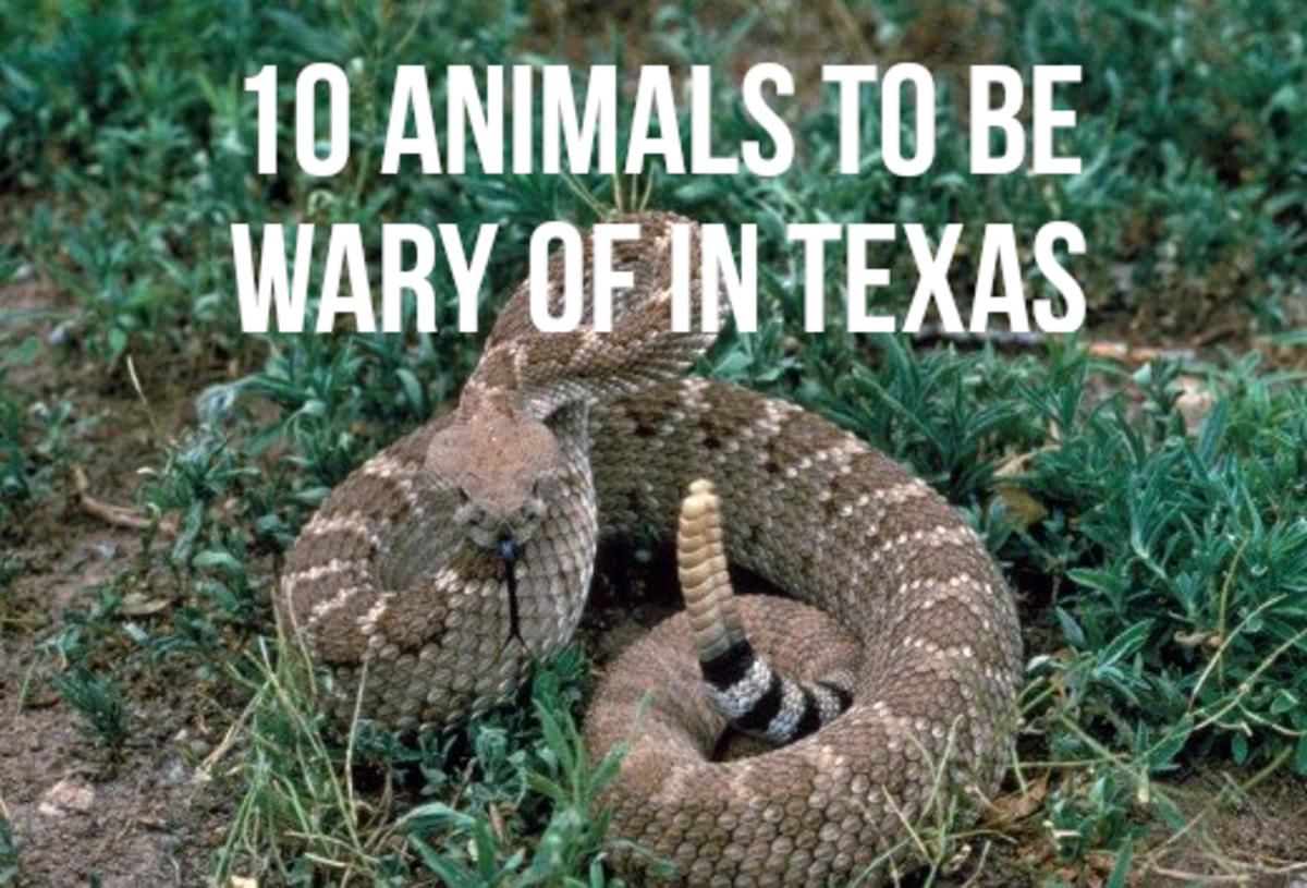 Top 10 Most Dangerous Animals in Texas