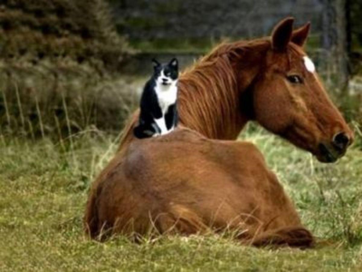 HORSE & CAT