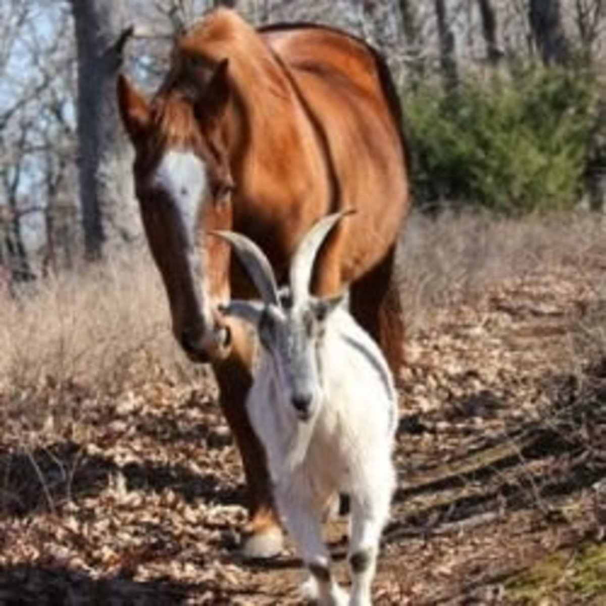 Jack the Goat and Charlie the Horse (read the story of their friendship above)