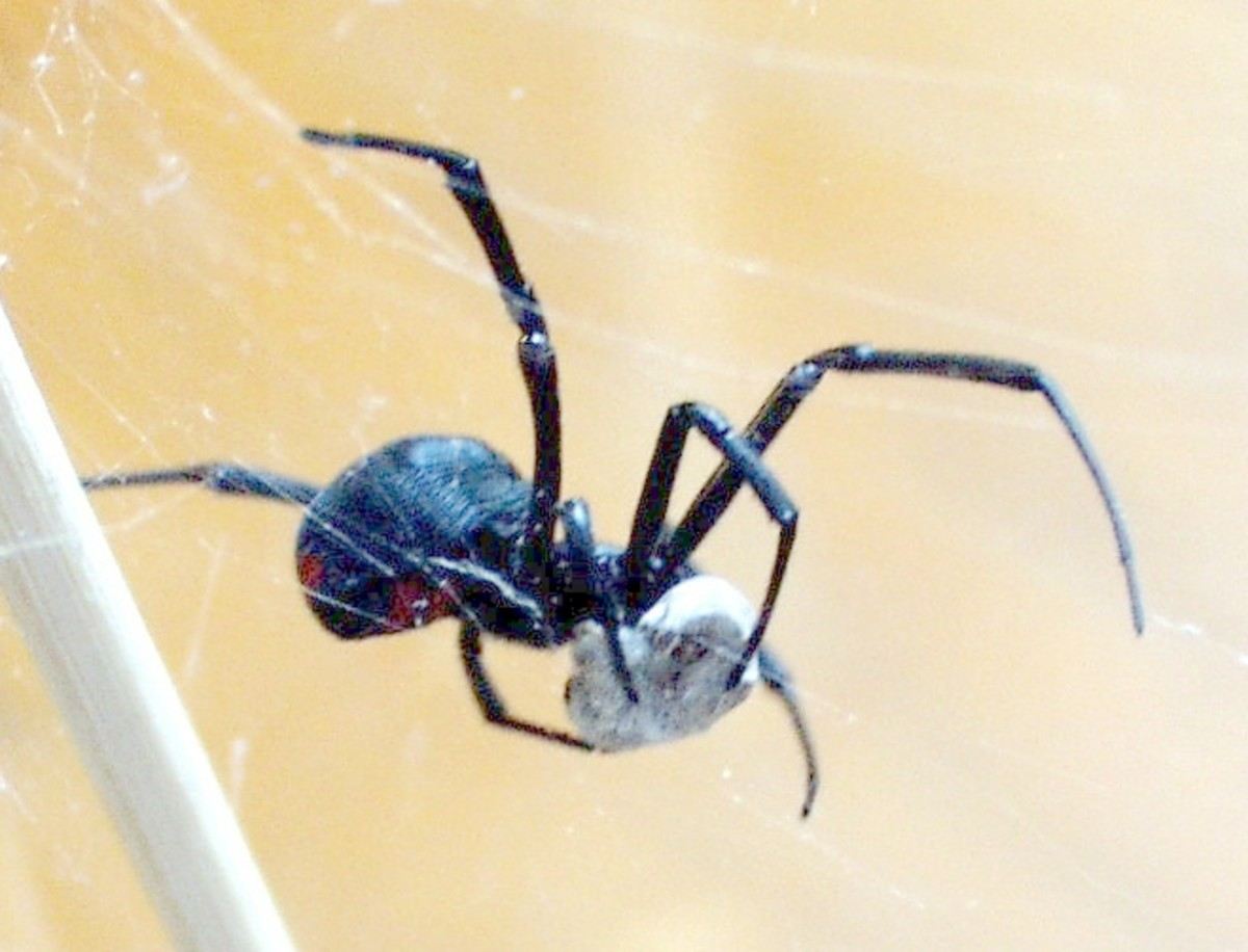 Black Widow Spider With Insect Wrapped in Silk.  Widow webs are often three dimensional and chaotic in structure.